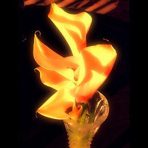 #yellow #flower #blossom #nature #plant #plants #beautiful #color #colour #pretty #garden #green #petal #petals #flowers #flora #floralstyles_gf #flowerporn #flowermagic #flowerpop #flor #flores #fiori Plants Flor Flowers Blossom Nature Colour Flores Garden Plant Flower Fiori Beautiful Petal Flora Flowerporn Green Flowermagic Color Floralstyles_gf Petals Flowerpop Pretty Callalilly Yellow