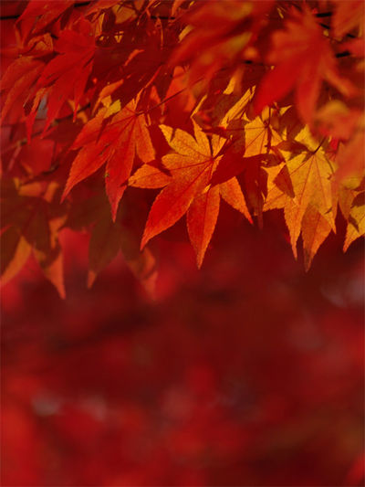 Autumn Leaves Autumn Beauty In Nature Close-up Leaf Leaves Maple Tree Nature Orange Color Outdoors Red Color Selective Focus Tree First Eyeem Photo