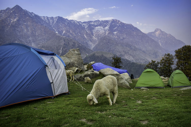 Photograph captured at Triund Base Camp, Uttarakhand, India. Mountain Tent Grass Animal Themes Beauty In Nature Mountain Range Camping Animal Plant Environment Domestic Animals Mammal Nature One Animal Scenics - Nature Domestic Landscape Sky Pets Field Outdoors India EyeEmNewHere
