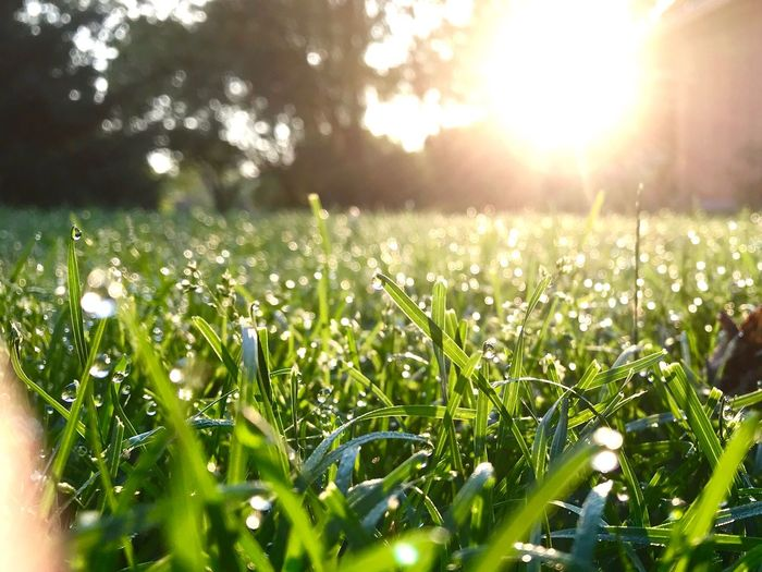 Morning dew Momentcamera Eyeemphonephotography Plant Growth Sunlight Nature Green Color Beauty In Nature Field Land Lens Flare Tranquility Grass Day Sunbeam Freshness Drop No People Sun Outdoors Wet