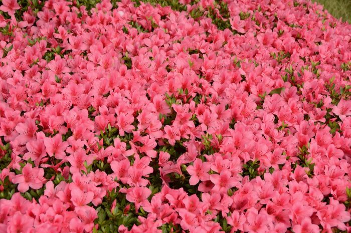 Flower Beauty Flower Bed Imperial Palace Garden Imperial Palace Tokyo Beauty In Nature Flower Flower Head Freshness Pink Color