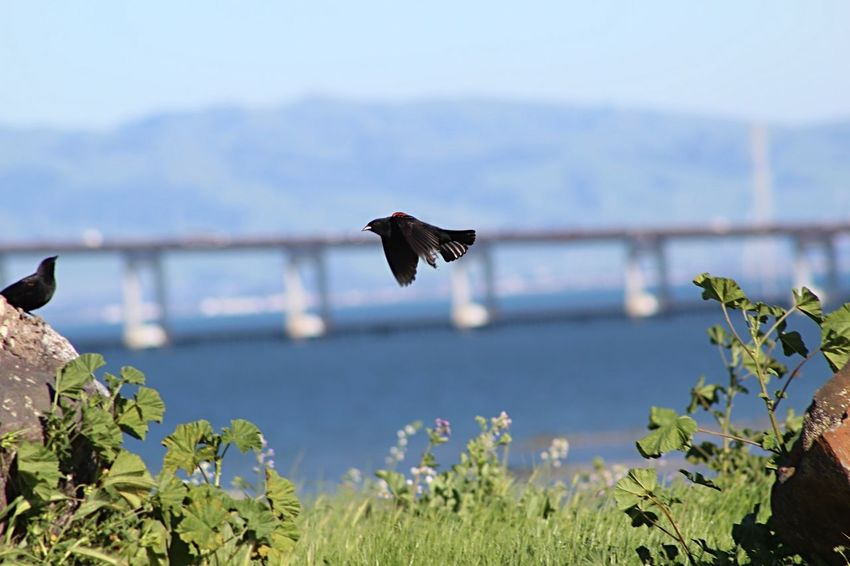 Birds Of EyeEm  Birds_collection Birds San Mateo Bridge Bay Area Birds In Flight Bridge San Mateo Black Bird