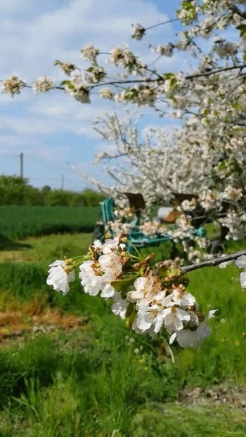 Cherry Blossoms Spring2015 Country Life Plow Theplow Flowerpower Cherry On Top
