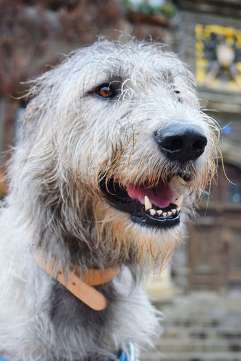 One Animal Animal Themes Pets Dog Focus On Foreground Outdoors Showcase February 2017 Winter 2017 Bokeh February 2017 Dogs Of EyeEm Dogslife Irish Wolfhound Cearnaigh Dog Of The Day Animal Eye Dogs Of Winter Dogwalk Portrait Domestic Animals