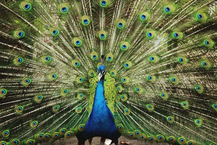 Merak Bird Male