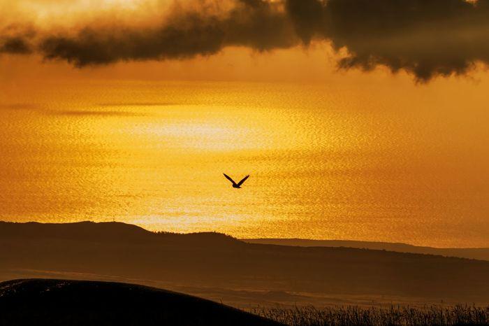 Beauty In Nature Bird Bird In Flight Calm Cloud - Sky Flying Golden Hawaii Idyllic Kona Sunset Mountain Nature Non-urban Scene Orange Color Owl P Scenics Sea Shore Short Eared Owl Silhouette Sunset Tranquil Scene Tranquility Volcanic Landscape