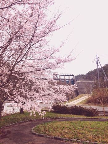 Sakura Blossom Cherry Blossom Flower Spring Japanesevillege Japan Photography Beautiful Hiroshima Dam
