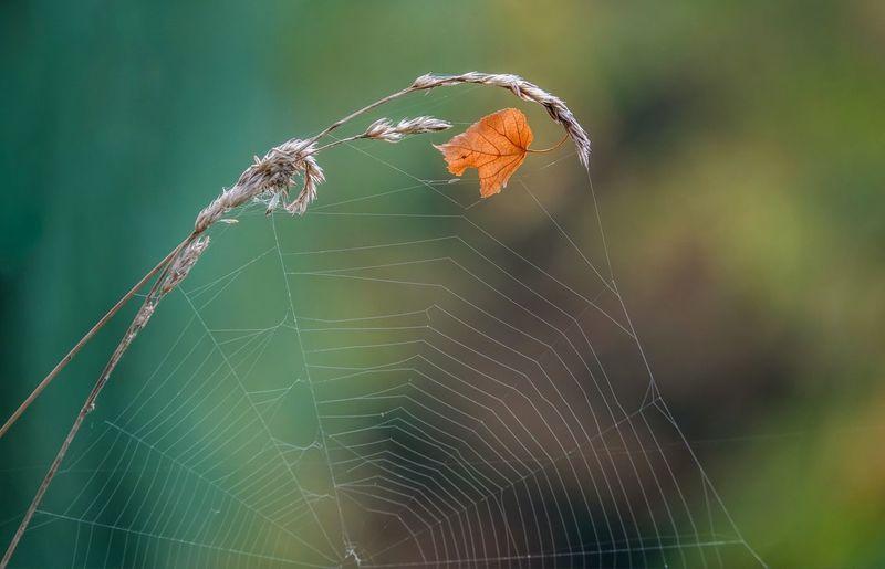 Close-Up Of Leaf On Spider Web