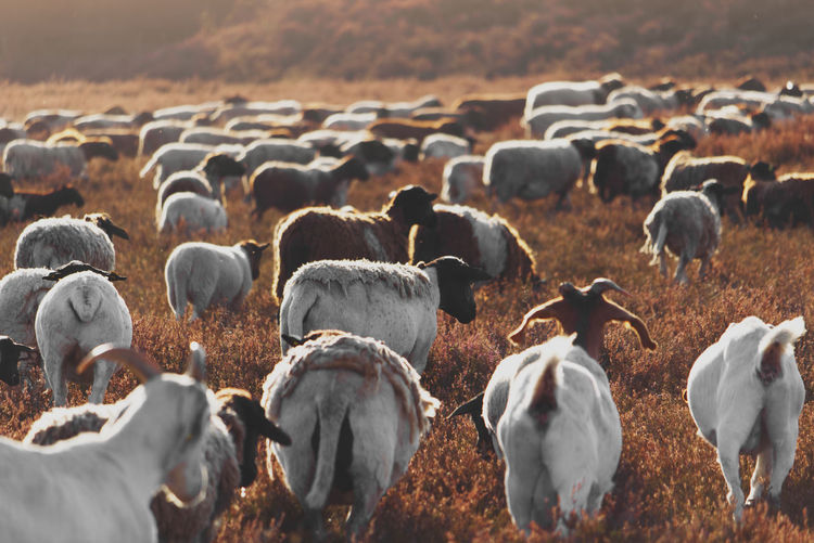 Herd of goats in the heather during sunrise