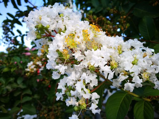 The beauty of life Flower White Color Nature Beauty In Nature Huawei P9 Leica HuaweiP9plus Leicap9 Butiful♥ Growth Plant Petal Day Blossom Close-up Tree Outdoors Flower Head Fragility No People Freshness