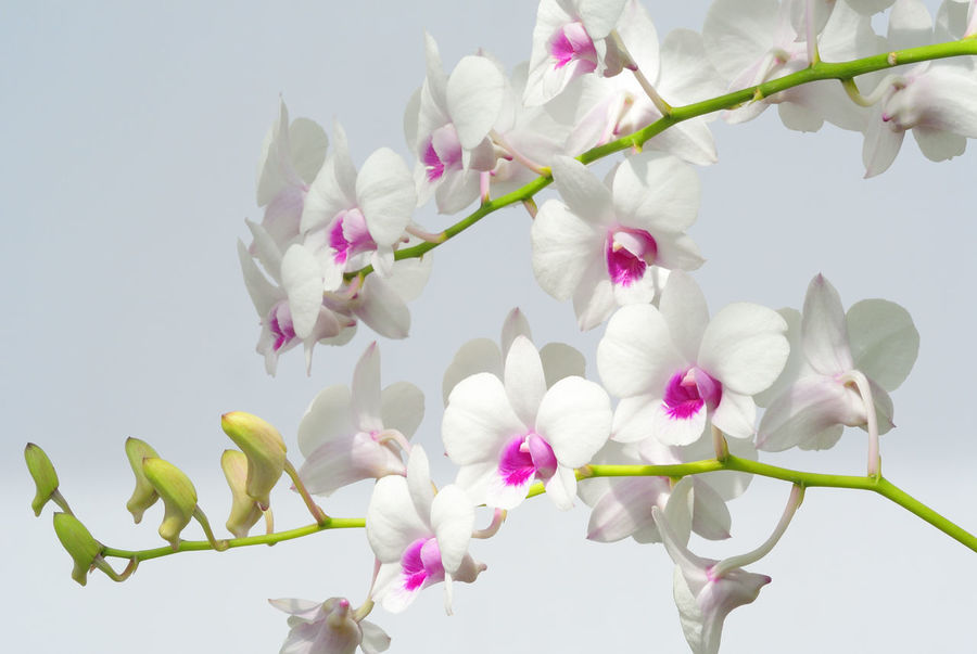 Beauty In Nature Blooming Blossom Botany Bud Close-up Day Flower Flower Head Fragility Freshness Growth In Bloom Low Angle View Nature No People Orchid Outdoors Petal Pink Color Sky Stem White White Color White On White