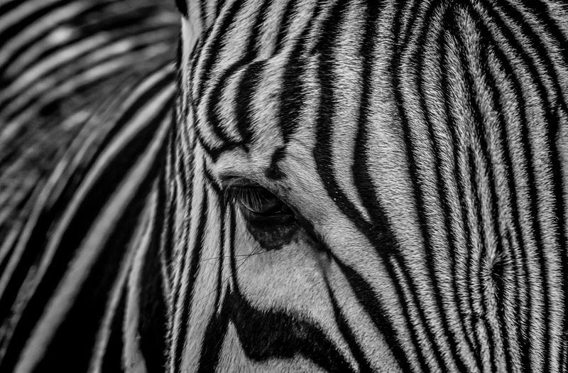 Hartmann's Zebra Animal Head  Close Up Eye Geometry Hartmann's Zebra Mammal Nature No People One Animal Safari Animals Side View Striped Zebra