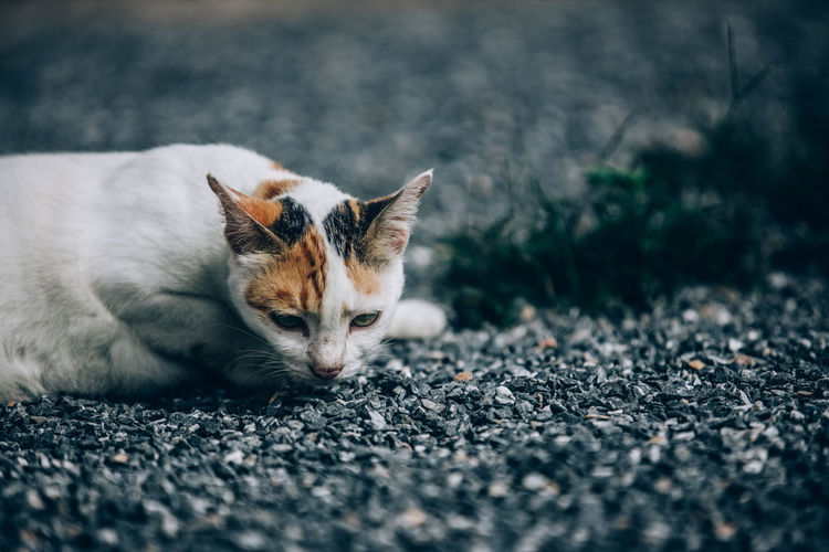 Close-up of a cat lying on road