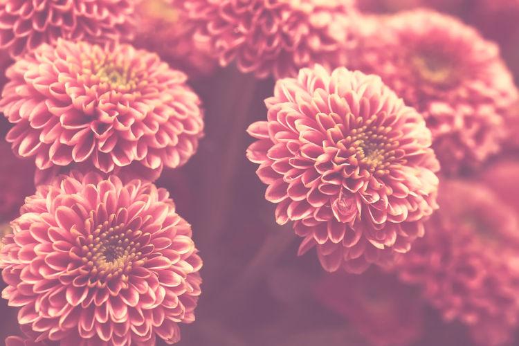 Pink pastel chrysanthemum flower background with soft focus
