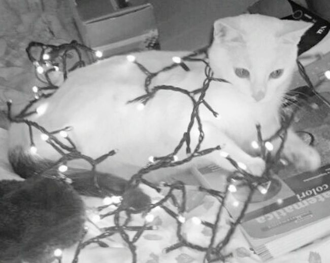 Showcase: December Cat Love Gatto Gattibianchi Gatti Miao