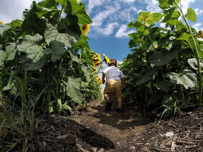 Sunflowers Toddler  Gopro Nature Nature_collection Naturelovers Child Children Photography EyeEm EyeEm Best Shots EyeEm Nature Lover Plant Plants Plants And Flowers Flower Outdoors Nature Check This Out Popular Photos Crop  Agriculture Outdoor Photography Outside Outside Photography