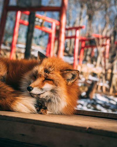 Sleepy foxy No
