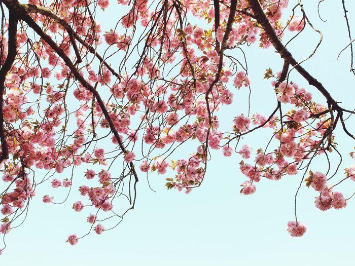 From Sakura in