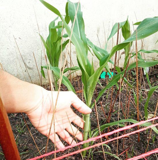 ต้นตำหรับจากฮอกไกโด ข้าวโพดหวานสีขาวกินดิบได้แช่เย็นยิ่งอร่อย ชาวสวน Plants 🌱 สวน ปลูก ต้นไม้ ข้าวโพด Corn Sweed Japan Garden Human Hand Leaf Close-up Plant
