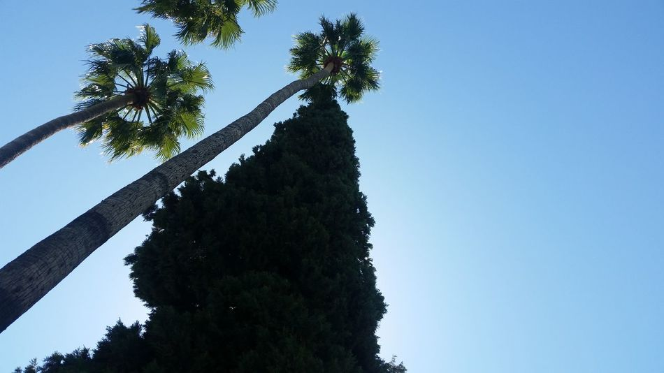 Lokking up a tree next to a palm Tree Low Angle View Sky Clear Sky No People Nature Outdoors Day