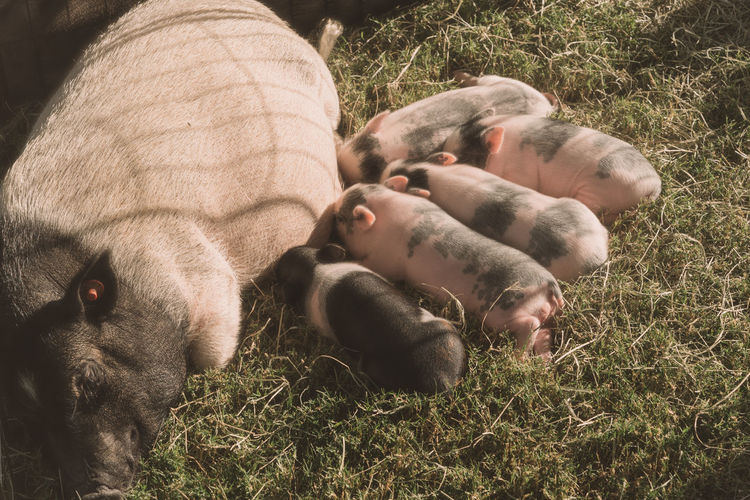 High angle view of pig and piglet on hay
