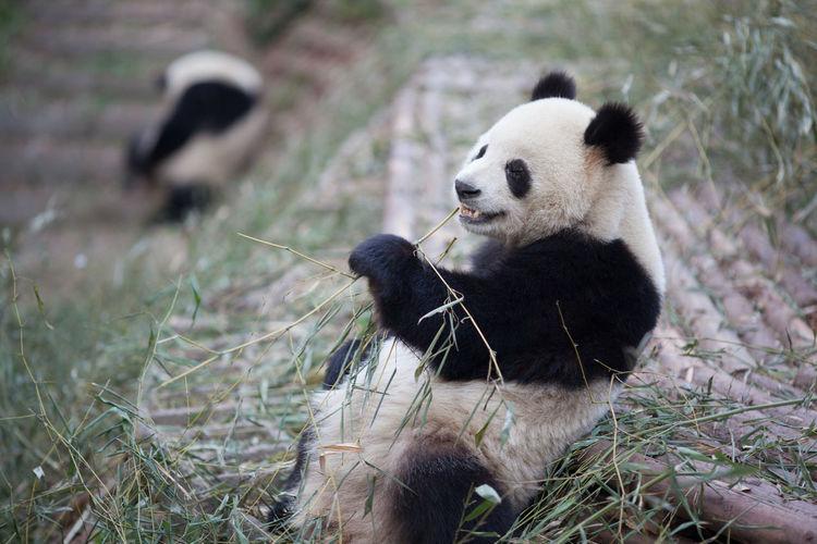 Panda eating bamboo plant in zoo