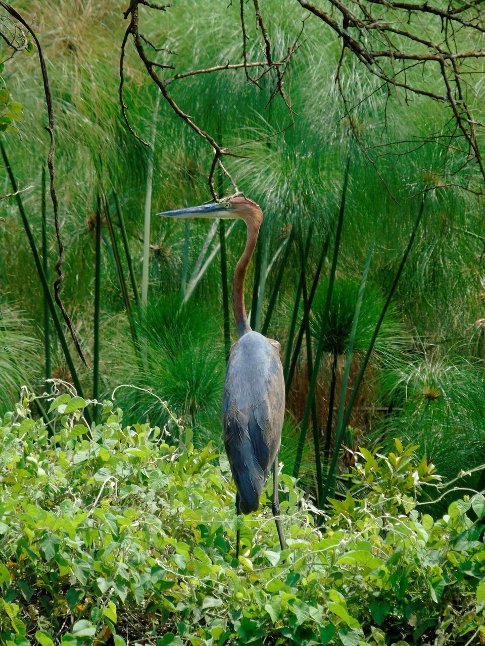 animal themes, plant, bird, animal, vertebrate, one animal, animal wildlife, animals in the wild, green color, tree, forest, nature, no people, growth, heron, land, day, branch, perching, outdoors