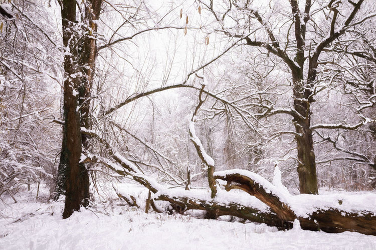 Winter Snow Cold Temperature Tree Bare Tree Branch No People Tree Trunk Nature Land Beauty In Nature Plant Trunk Tranquility Scenics - Nature Day Covering Frozen Environment Outdoors Snowing