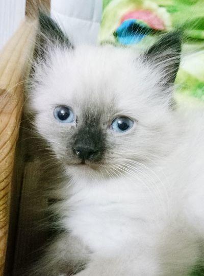 Cat Looking At Camera Pets One Animal