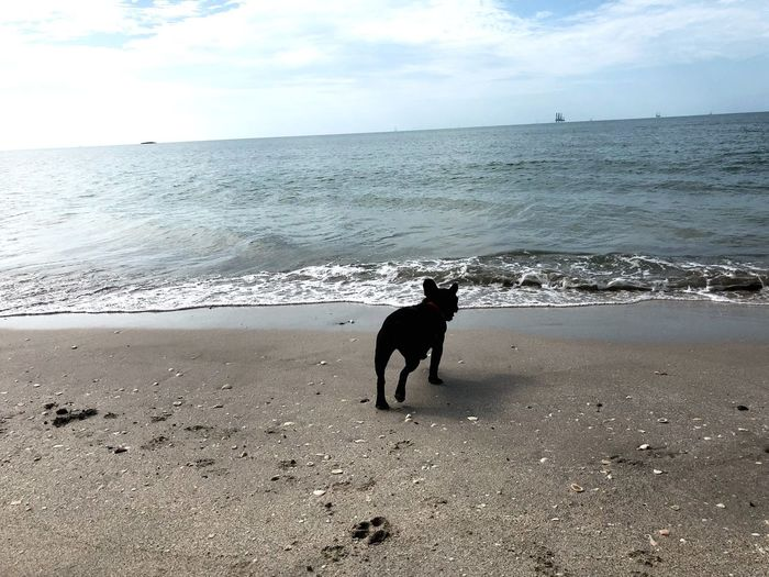 Gladys at the beach... Gladys Landscape Frenchie Water Sea Beach Land Dog Domestic Canine