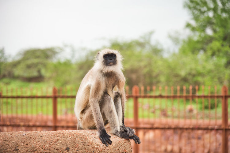 Monkey looking away while sitting on retaining wall