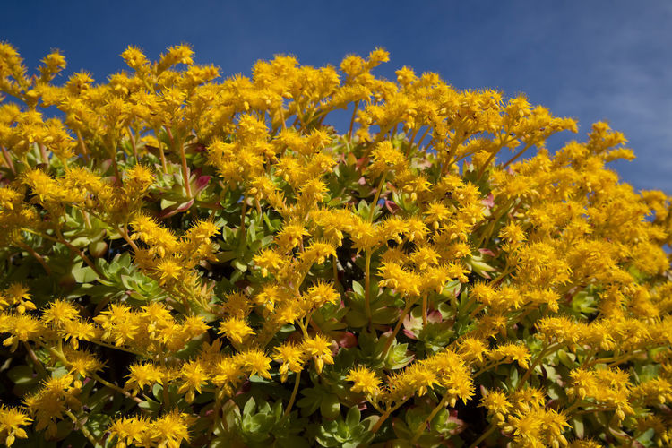 Yellow Flower Flowering Plant Plant Beauty In Nature Freshness Fragility Vulnerability  Growth Nature Petal Flower Head No People Day Inflorescence Close-up Abundance Outdoors Sky Land Springtime Flowerbed