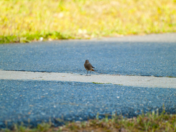 Animal Themes Animal Wildlife Animals In The Wild Asphalt Beauty In Nature Bird Birds Black Redstart Day Delicate Female Female Bird Grass Highway Looking At Camera Nature No People One Animal Outdoors Perching Phoenicurus Phoenicurus Ochruros Redstart Road Wildlife