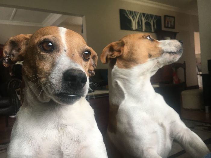 Their perfect! 🐶 Robbie  Mila Perfect Nodrama Mansbestfriend Pets Mammal Dog Canine Domestic Domestic Animals Close-up Jack Russell Terrier Looking Away Looking Whisker