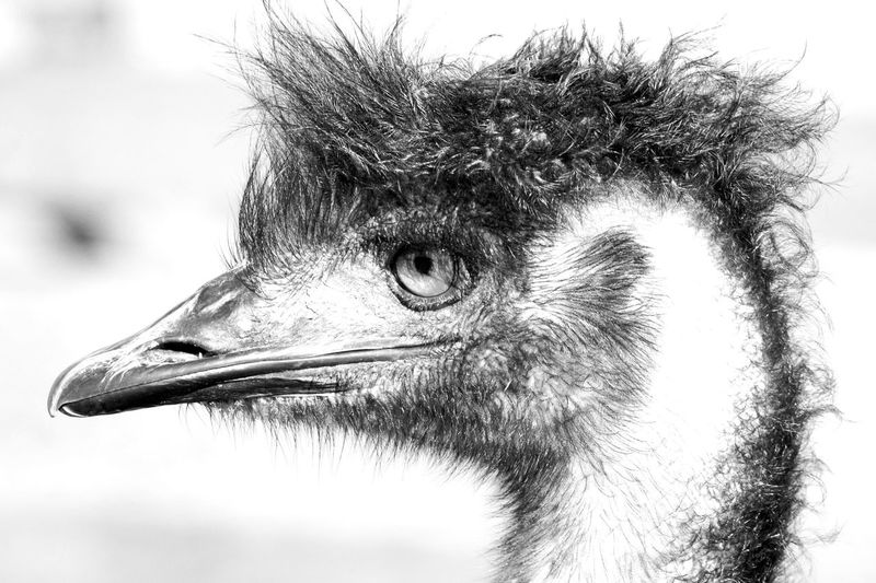 emused One Animal Animal Themes Animal Head  Close-up Animals In The Wild Bird Animal Wildlife No People Day Outdoors Mammal Nature