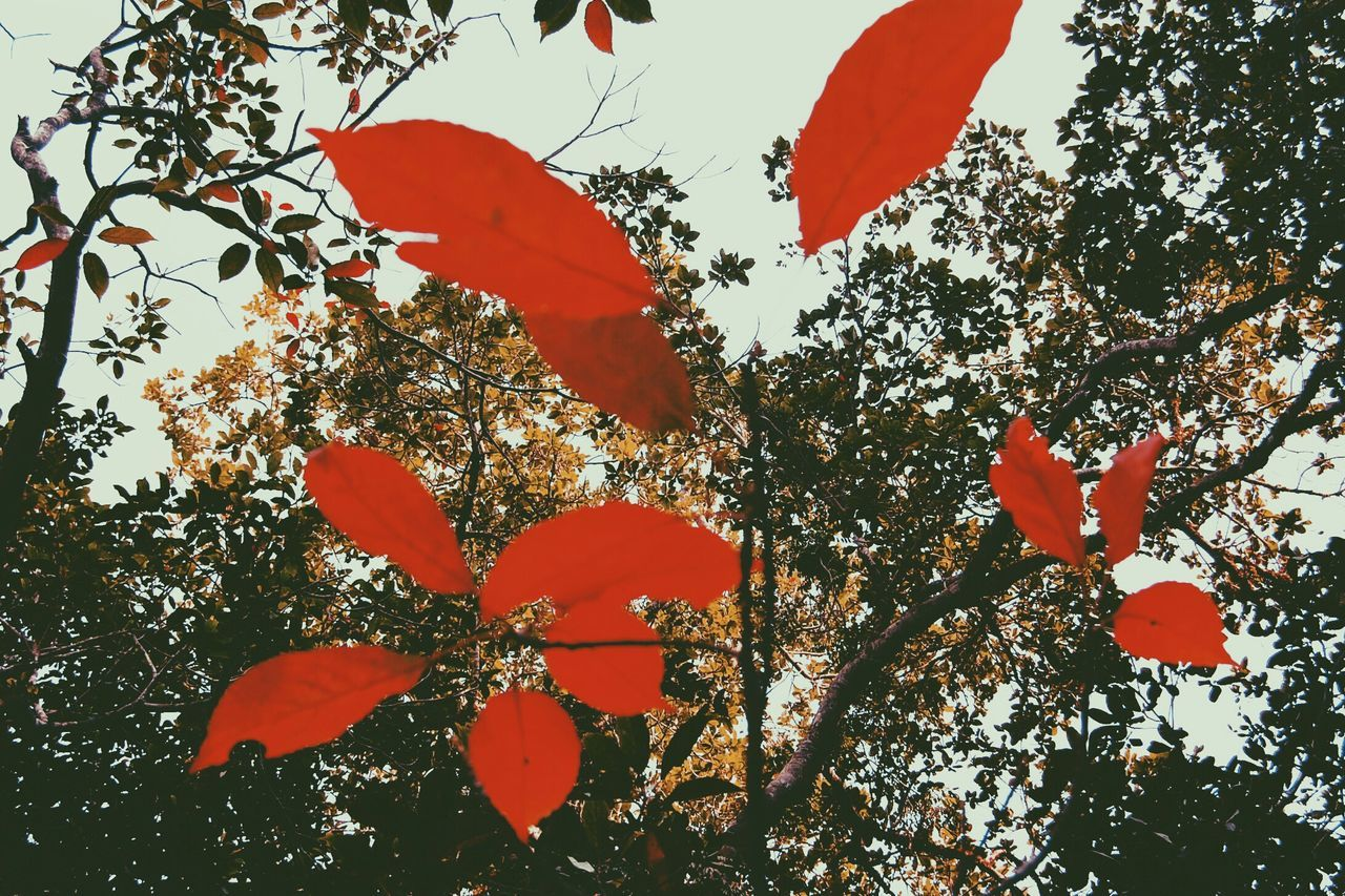 leaf, tree, growth, low angle view, red, autumn, no people, nature, branch, outdoors, beauty in nature, day, close-up, fragility, plant, sky, flower, maple, freshness
