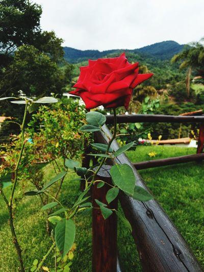 #rosa Flower Red