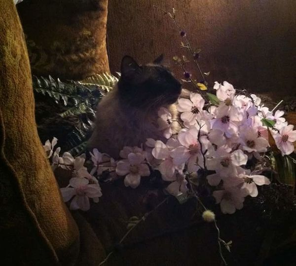 My Baby Cat Bugsy Siamese Ragdoll Cat Flowers Eating My Flower Arrangement Cat Love This Cat