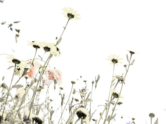 wild flowers Beauty In Nature Clear Sky Close-up Copy Space Day Flower Flower Head Flowering Plant Fragility Freshness Growth Low Angle View Nature No People Outdoors Petal Plant Plant Stem Sky Vulnerability