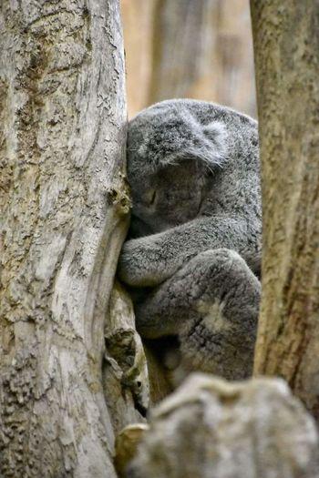 Zoo Leipzig Zoobesuch Koala