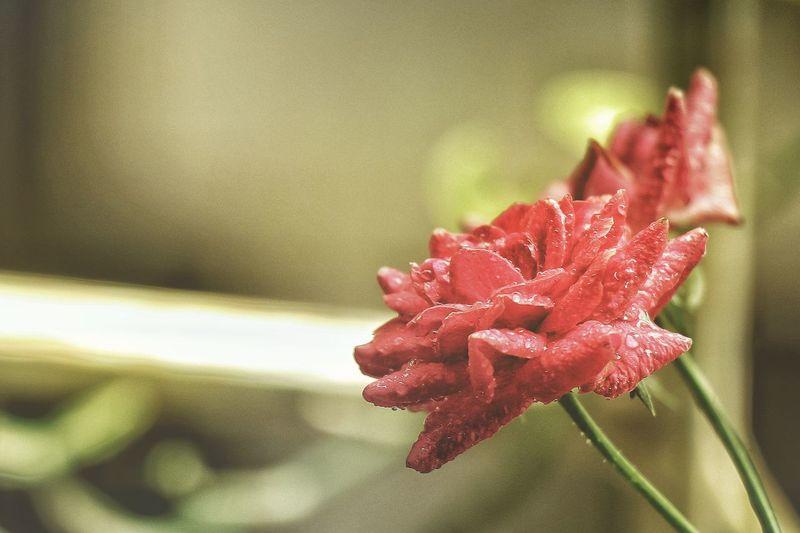 rose Rose - Flower Caon77d Canonphotography Canon Nature Flower Head Flower Water Red Petal Drop Wet Close-up Plant Dew RainDrop Rain Torrential Rain Periwinkle Rainfall Splashing Droplet Monsoon Rainy Season Focus Botany Pistil Stamen Blooming In Bloom Plant Life Sepal