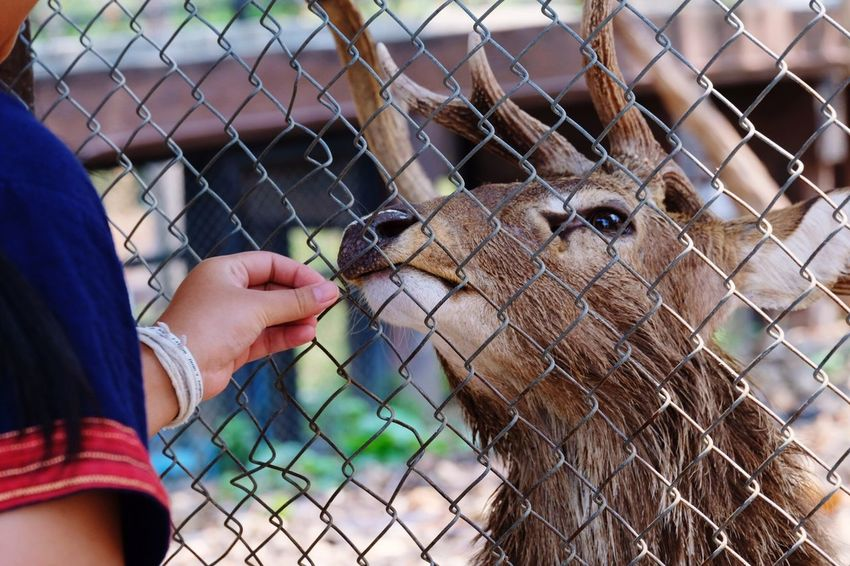 Man feeding a deer in a cage Fence One Person Human Hand Barrier Boundary Human Body Part Hand Finger Animal Wildlife Focus On Foreground Zoo Day Body Part Domestic Animals One Animal Mammal Real People Chainlink Fence Vertebrate Outdoors