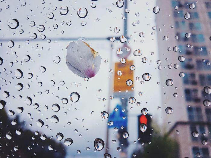 Raindrops and petal on windshield during rainy season
