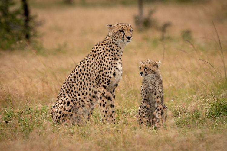 Cheetahs sitting on grassy field in forest