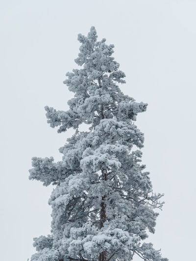 Low angle view of tree against clear sky during winter