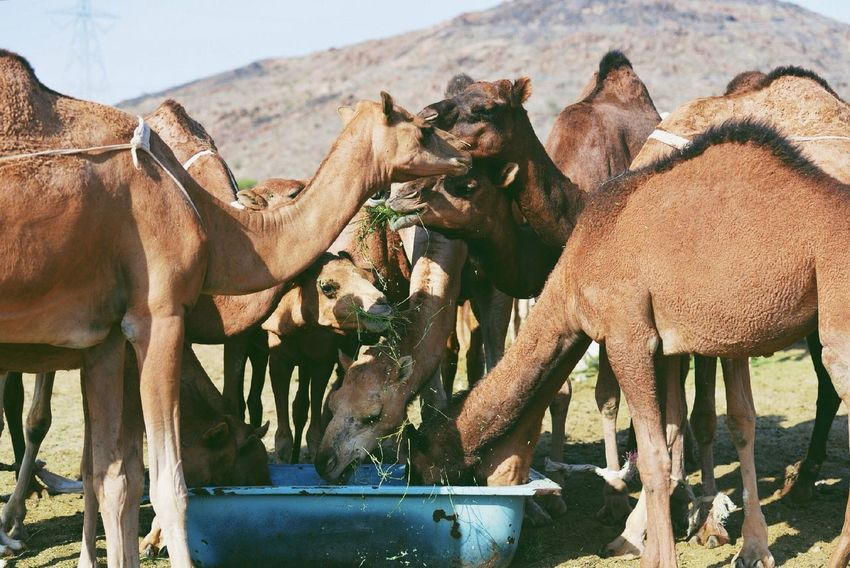 The essence of a long-distance travel and endurance; camel~ Hello World Animals Four Legs And A Tail EyeEm Nature Lover