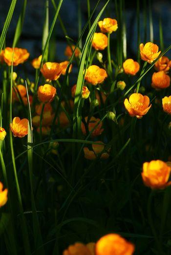 Close-up of orange flower blooming in field