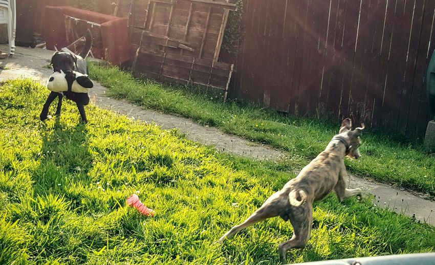 Dogs Animals Collie Whippet Playing Toys Outdoors EyeEm Of The Week The Essence Of Summer- 2016 EyeEm Awards Sun Glare Live For The Story The Great Outdoors - 2017 EyeEm Awards