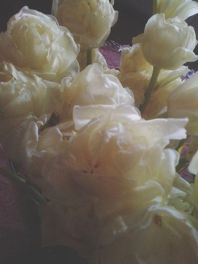 Silky Tulips