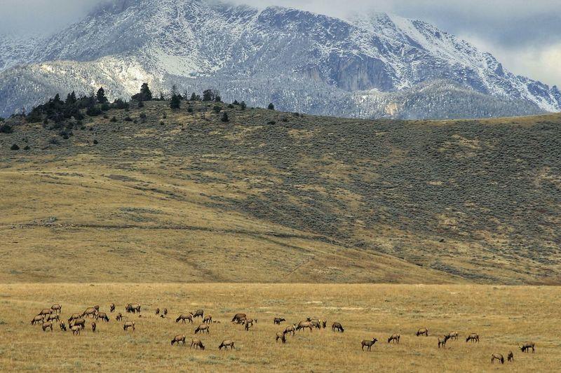 Elks grazing on mountain